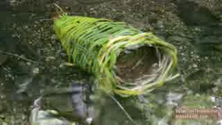ホモと学ぶエビ用トラップ.Shrimp Trap