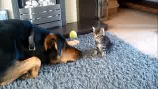 「子猫と遊びたい!」 大型犬が子猫を鼻で