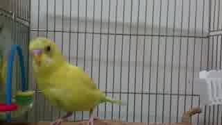 【インコ動画】スマホのカメラ音を真似するインコ