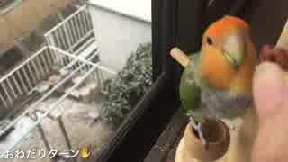 インコ、雪見おやつをする