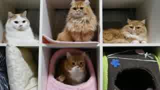 【マンチカンズ】自動猫じゃらし CatchCats
