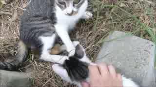 親猫が見てるけど子猫を撫でまくった