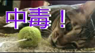【中毒】おもちゃに取り憑かれ何者も寄せ付けなくなった猫