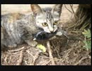 野鳥のヒヨコが一瞬の隙に猫に食べられた【ヒヨコを食べる猫】