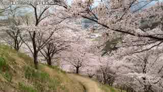 桜を思う【職場の教養:2017.3.27】