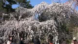 春の京都(2017/4/1,4/2)