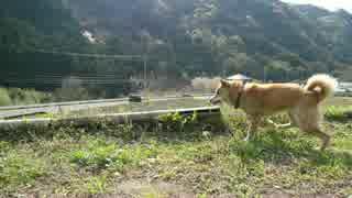 【ワンコ】柴犬のじょーを、GH5の4K/60fpsで撮ってみた