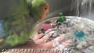 おそるおそる水浴びを楽しむインコ