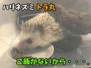 【ハリネズミ】トラ丸、ご飯がないからと思わぬ行動に!