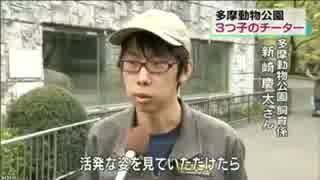 チーターの3つ子赤ちゃんが人気 NHK 首