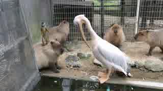 東武動物公園コラボでカピバラちゃん達に