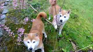 しだれ桜と柴犬ひかいち