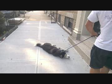 散歩をやめると死ぬハスキー