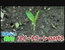 マンションの空地で勝手に栽培 スイートコーンpart2 【あやしい栽培】
