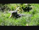 自然と一体化するハシビロコウ