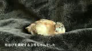 【うずら動画】ヒメウズラの布浴び【パー