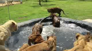 ネコ科の猛獣たちのプールあそび