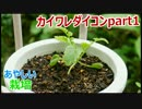 カイワレ大根を育てて大根に part1【あやしい栽培 第4回】