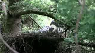 ヒナに餌を与えるオオタカ