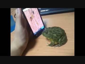 ゲーム画面の虫を食べられなかったカエル。怒りの八つ当り