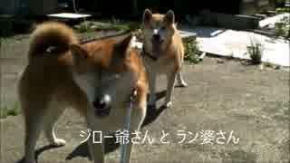 柴犬 ジロー爺さんとラン婆さん