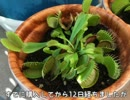 【食虫植物】新しくハエトリソウを買って来た(2017.8.21)