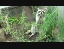雑草を食べるアライグマ
