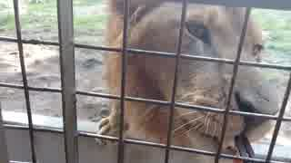 五月雨の大分県観光②・ライオンへ肉をあげ
