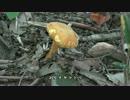 食べる小さな自然図鑑【コガネヤマドリ】