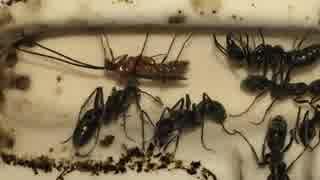 蟻戦争#169 なんだこのアリ!?アリの変化と秋の訪れ編