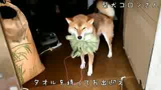 帰宅するとタオルを持ってきてくれる柴犬