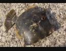 釣り動画ロマンを求めて 86釣目(花暮岸壁)