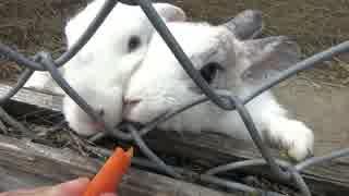 【人参をポリポリ食べるウサギが可愛すぎ