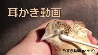 【うずら動画】耳かき動画【パート19】