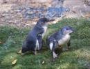 フェアリーペンギン愛を育む