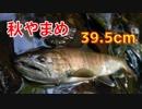 【アウトドア】大イワナと怪物ヤマメが連発!!