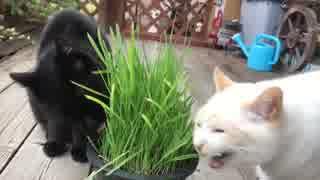 ねこ草中にくしゃみをして我に返る黒猫と