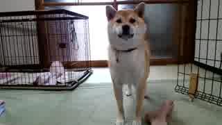 【柴犬】そこゆずって
