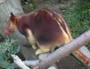 あちこち動き回る珍獣のカンガルー(よこはま動物園ズーラシア)