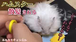 【ハム動画】ハムスターの毛のカットをし
