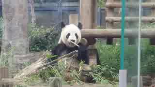 パンダの朝ごはんタイム(開園直後の上野動物園)