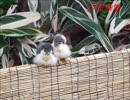 掛川花鳥園 酉年ラスト 12月なので リア充な小鳥達