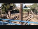 カンガルーの喧嘩【千葉市動物公園】