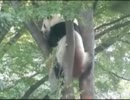パンダ:リーリーの面白い行動集(上野動物園)
