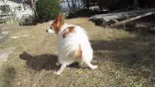 庭の散策中にウ〇コをするワンコ(パピヨン)