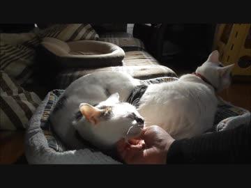 寝てた猫を起こしてモフったら満更でもなさそうで甘えてきた