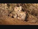 野生のスナネコの子供たちが初めてカメラに収められたよ