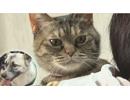 どうぶつピース!!かわいい大図鑑 猫編 2018/2/2配信分