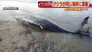 大量のイワシが漂着した海岸に 傷だらけのクジラ