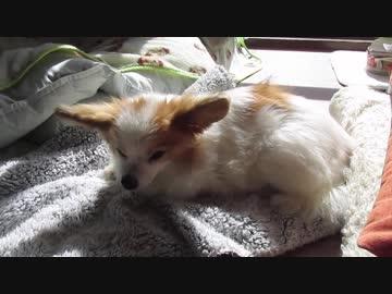 日向ぼっこするワンコ(パピヨン)